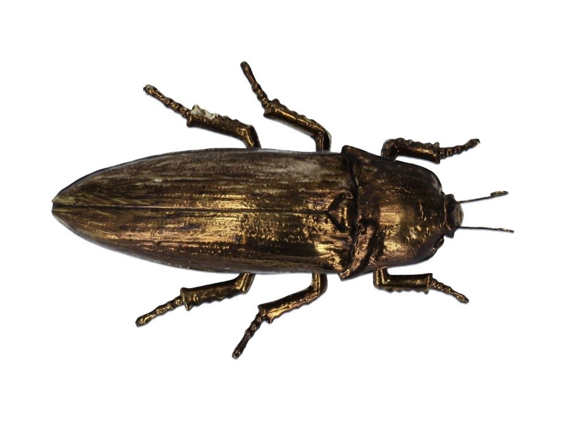 Large bronzed look beetle